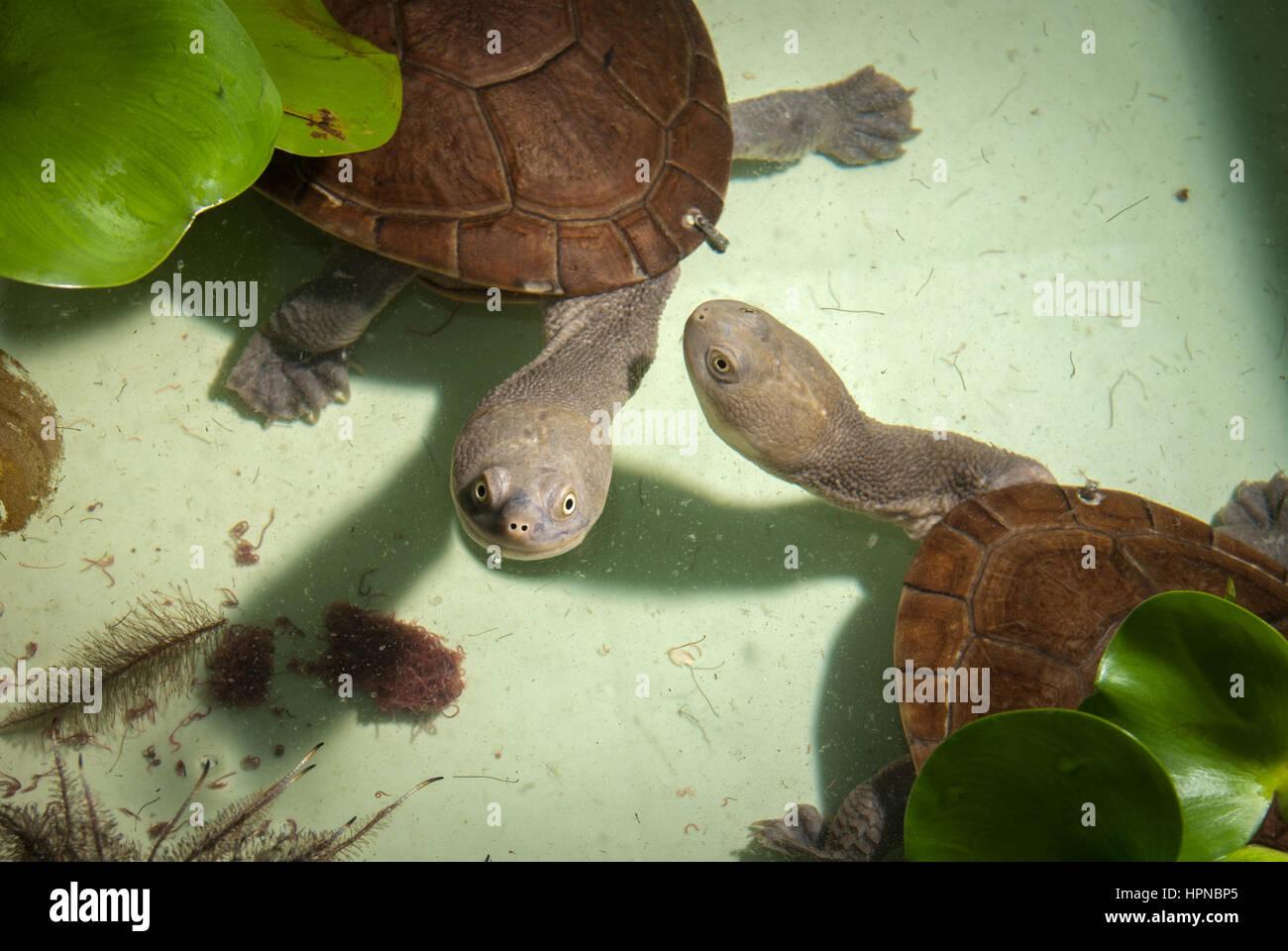Rote Island snake-neck turtles (Chelodina mccordi). - Stock Image