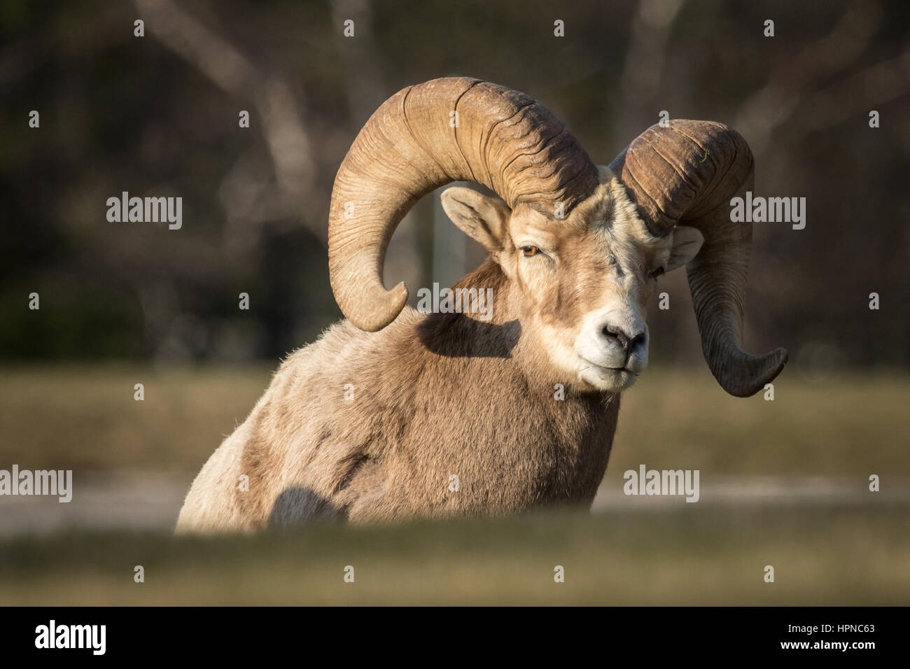 Big Horn sheep ( Ovis canadensis) resting on a small grass slope - Stock Image