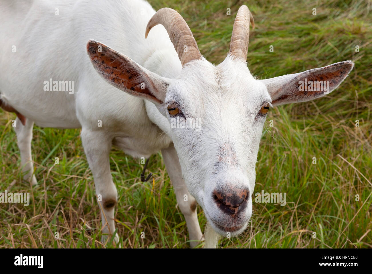 Saanen goats: photos, description and characteristics of the breed 15