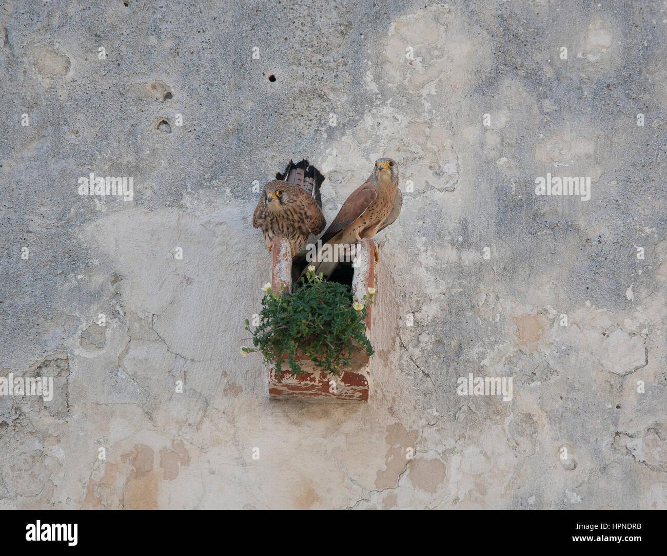 Lesser Kestrels Falco naumanni together at nest site in castle Tarifa Andalucia Spain - Stock Image