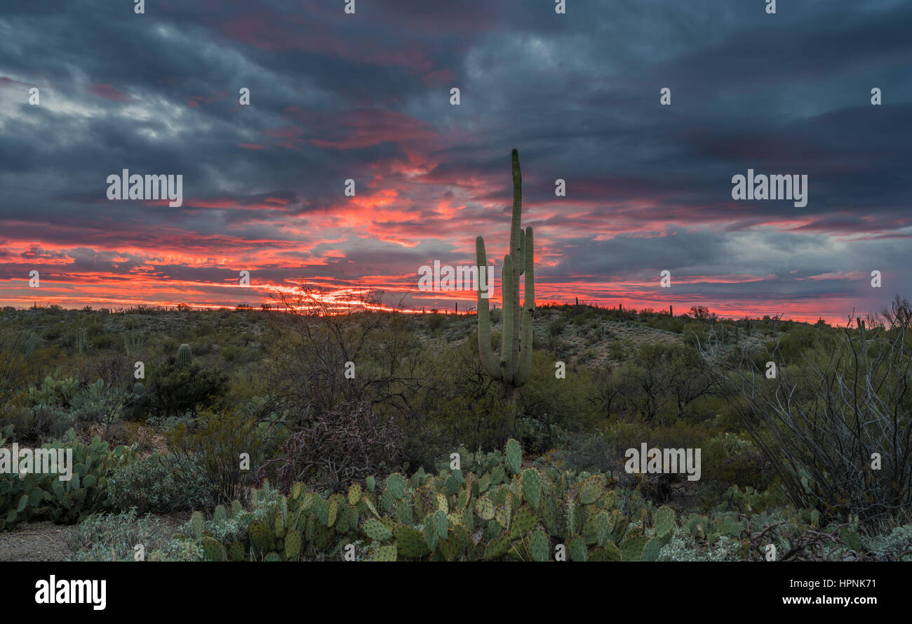 Saguaro and Prickly Pear cacti stand against setting sun near Tucson Arizona Stock Photo
