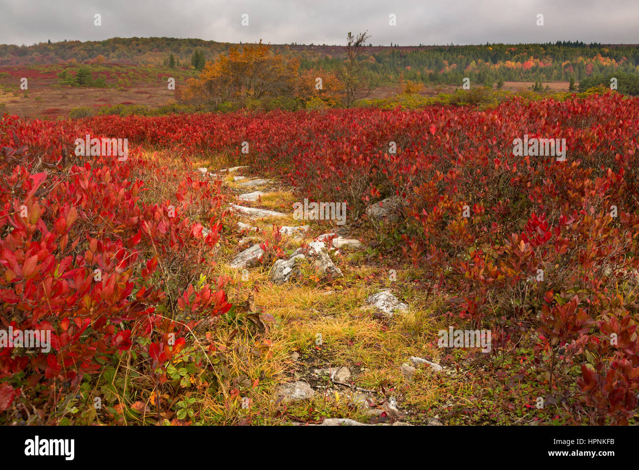 Red autumn leaves by rocky and stony path across Dolly Sods Wilderness area in West Virginia - Stock Image