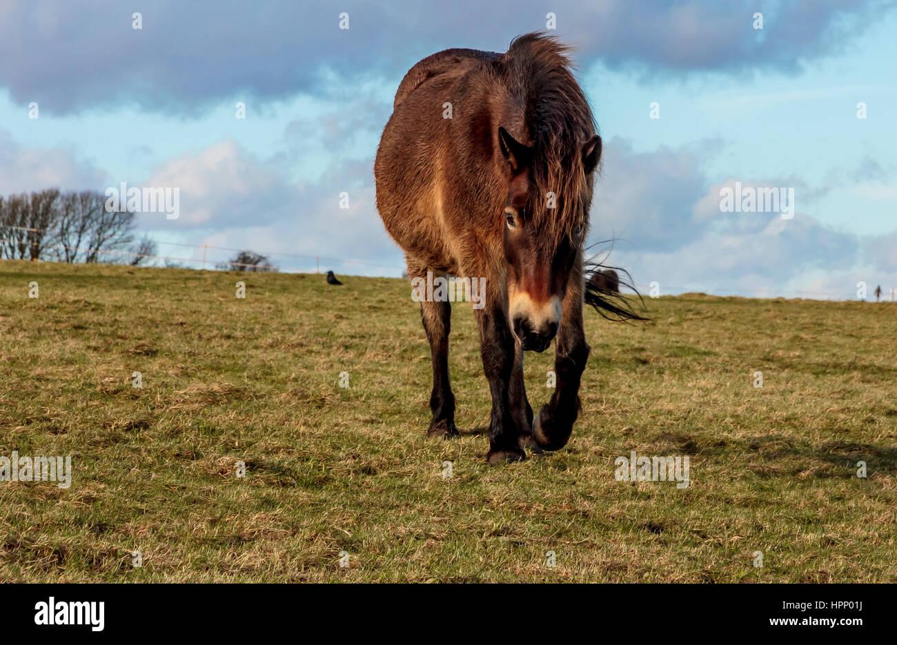 Exmoor ponies - Stock Image