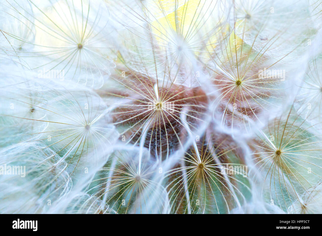 Dandelion macro. The middle of a dandelion. Focus in the center. Blurred and soft color. Stock Photo