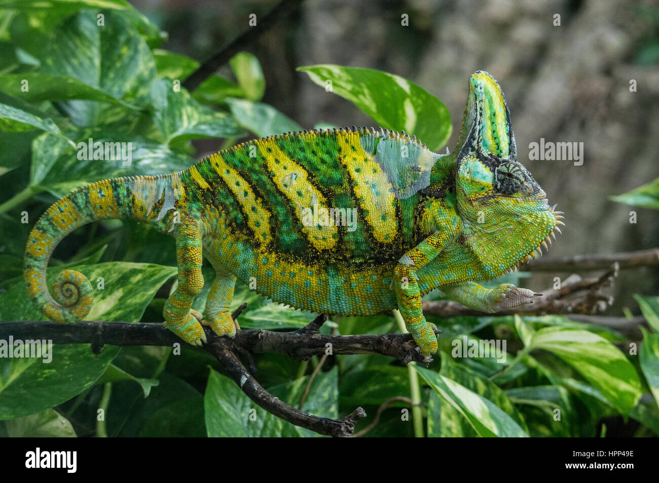 big chameleon emerges from the green leaves of a tree, horizontal image Camaleonte - Stock Image