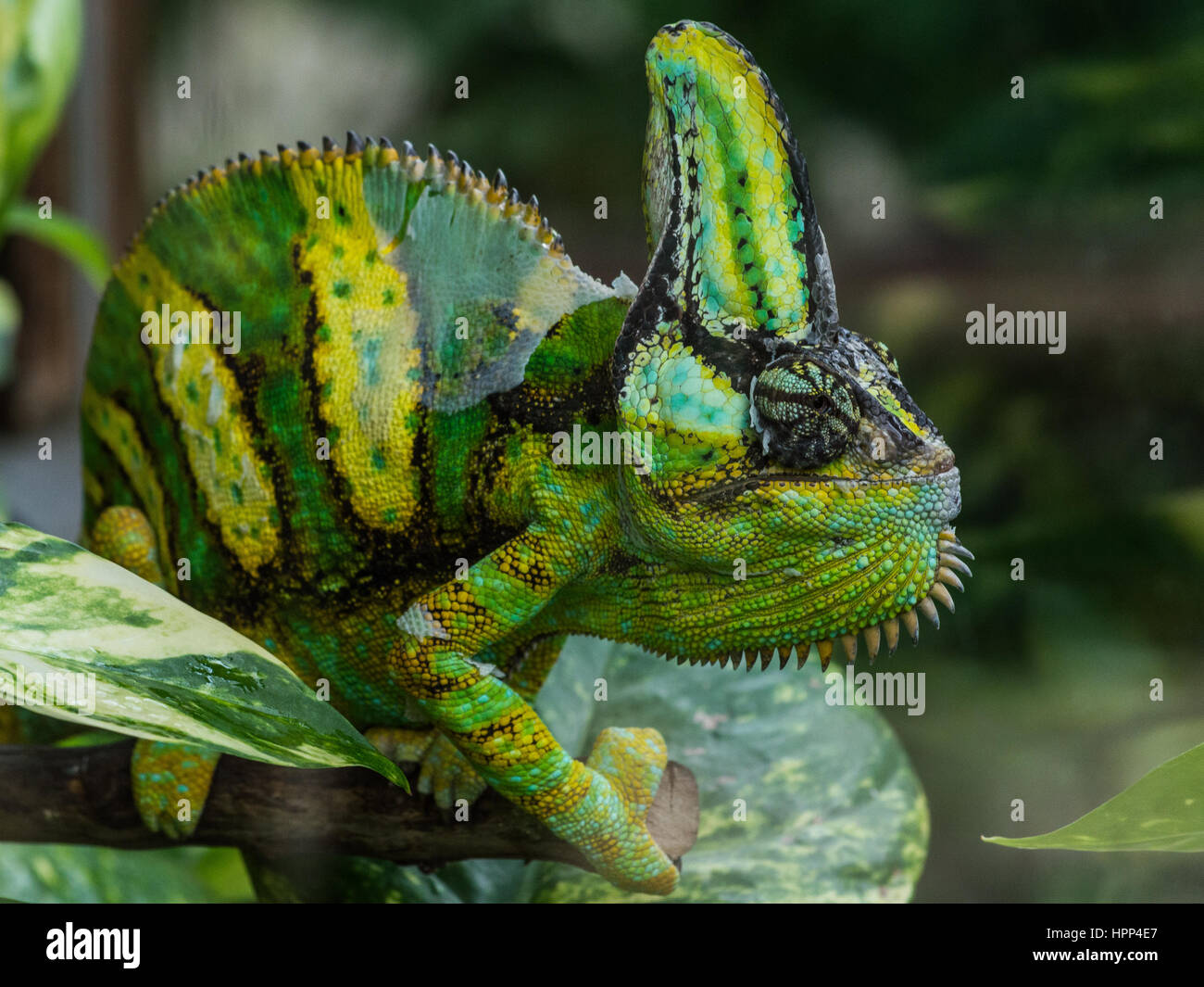 big chameleon emerges from the green leaves of a tree, portrait Chameleon lizard or chamaeleon (family Chamaeleonidae) - Stock Image
