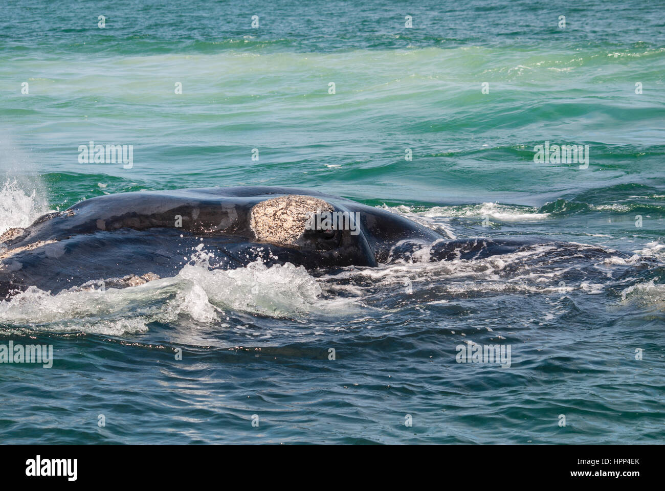 Eye of a southern right whale - Stock Image