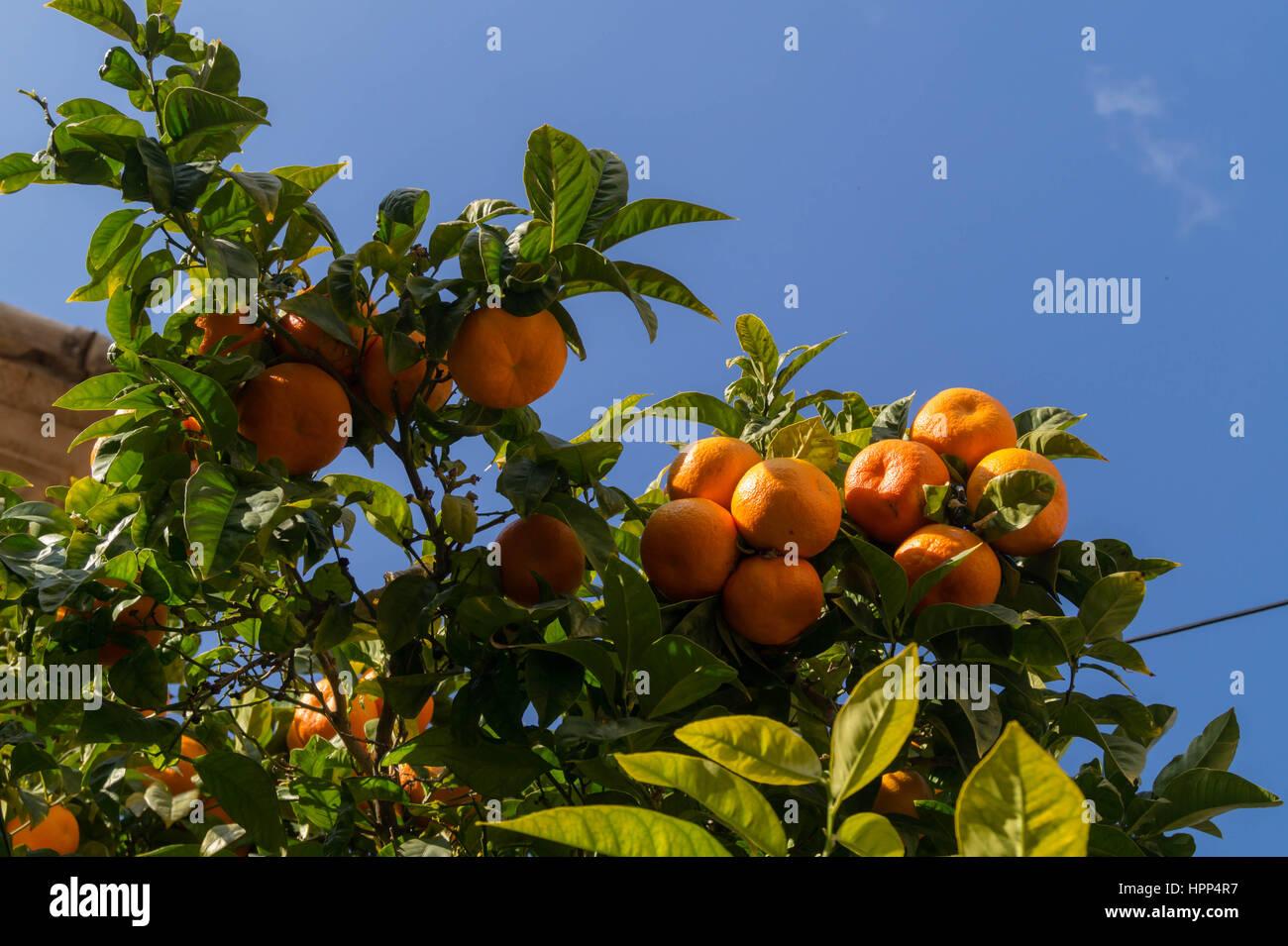 Fresh oranges on tree Stock Photo