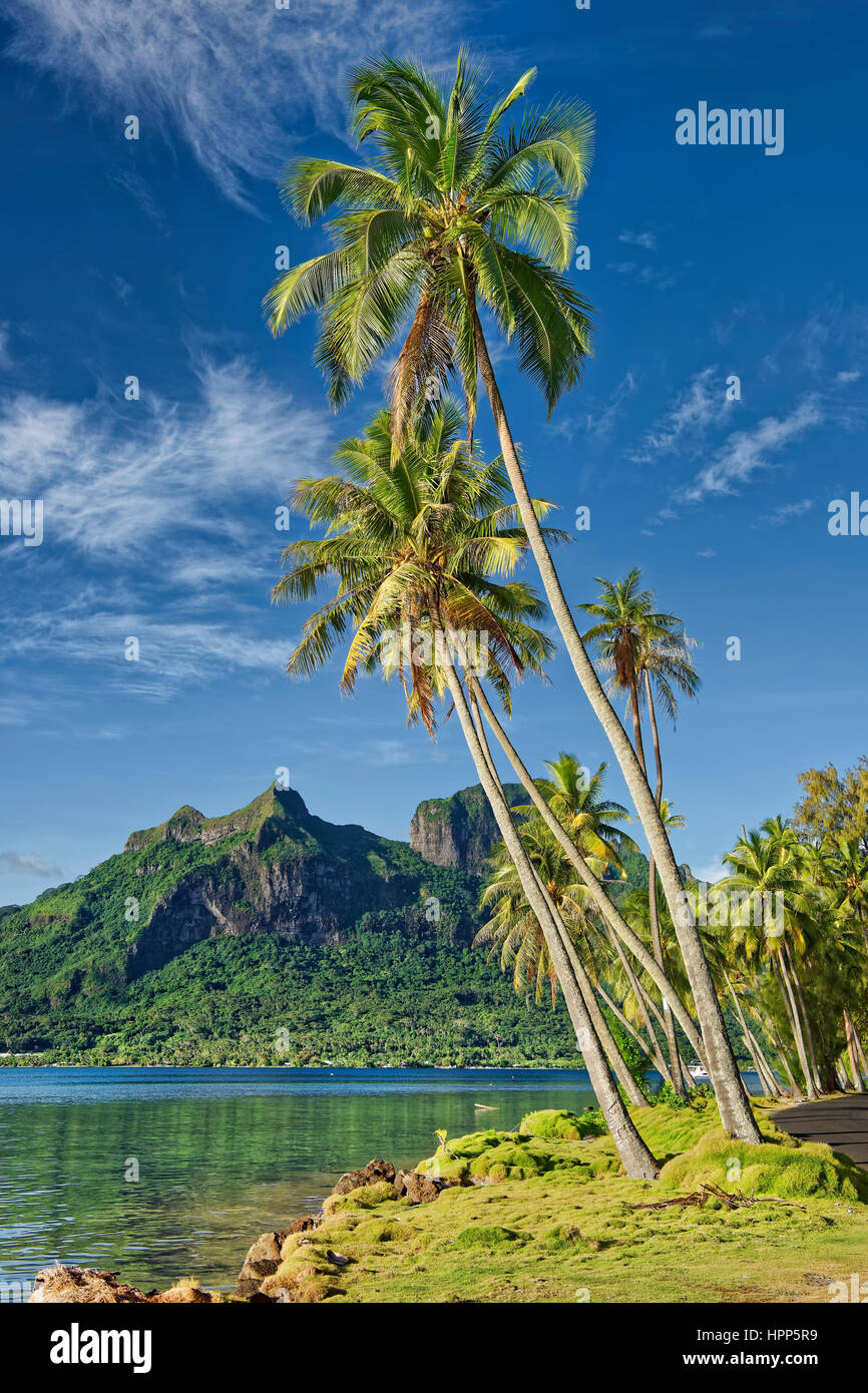 Palm trees infront of volcanic Mount Otemanu in Pofai Bay, Bora Bora, Society Islands, French Polynesia - Stock Image