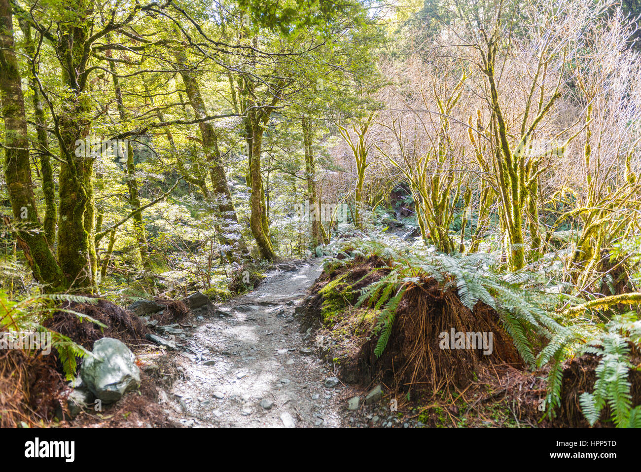 Trail through forest with fern, alpine vegetation, Mount Aspiring National Park, Otago, Southland, New Zealand - Stock Image