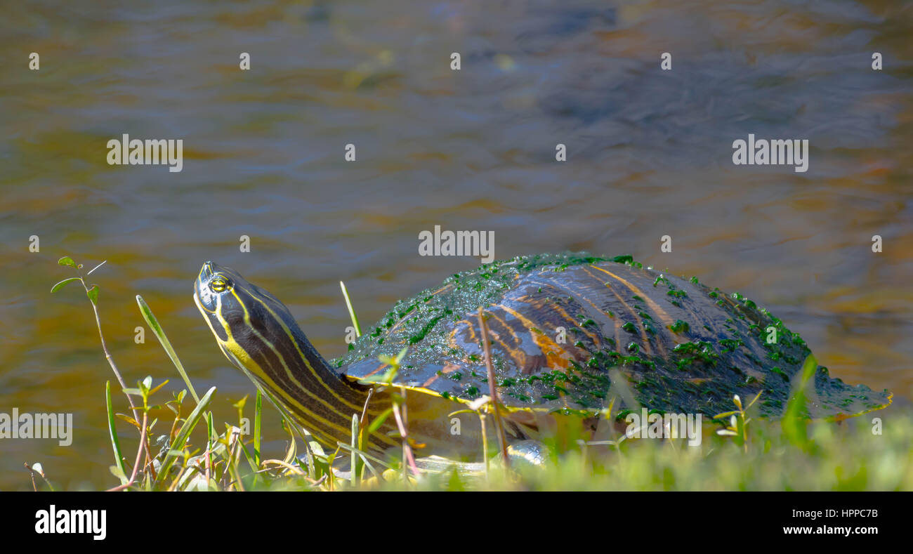 Cooter turtle Stock Photo