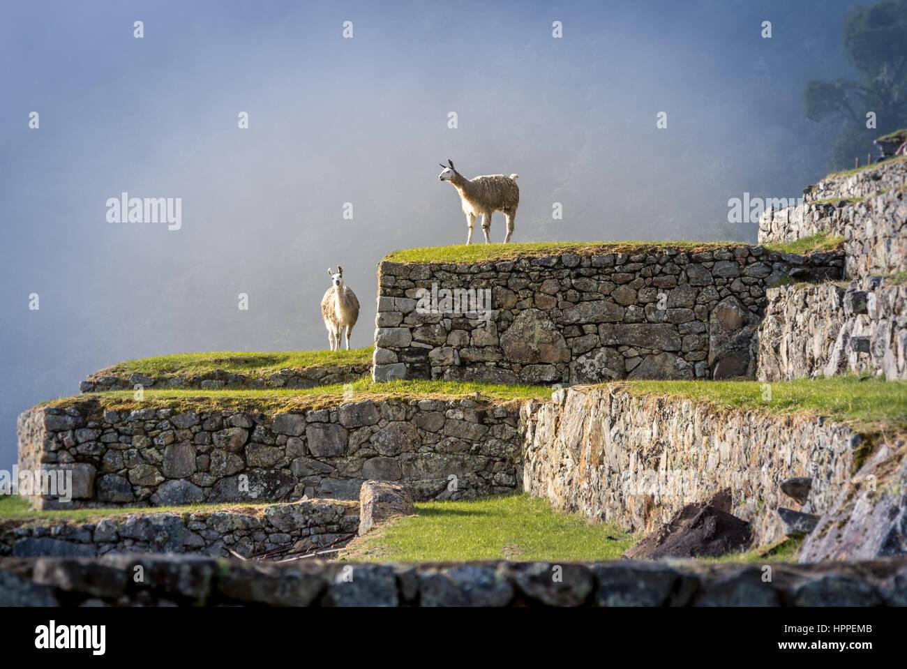 Llamas on Machu Picchu Terraces - Peru - Stock Image