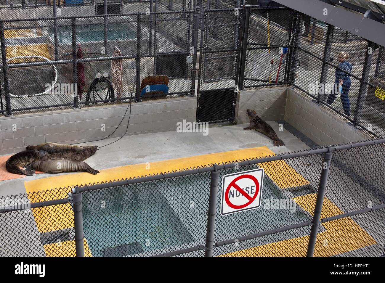 Injured seals resting at the hospital at the Marine Mammal Center in the Marin Headlands, California, USA. - Stock Image