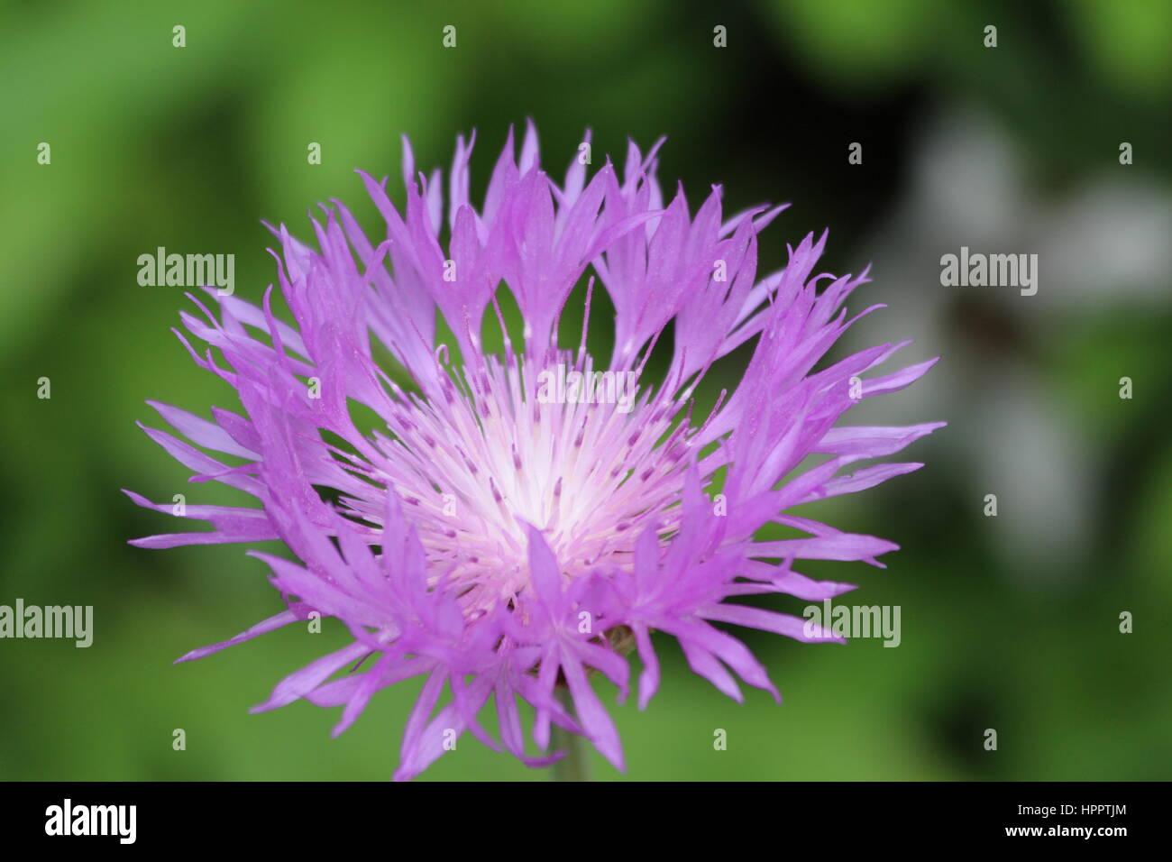 Spiky Flower Bud Stock Photos Spiky Flower Bud Stock Images Alamy