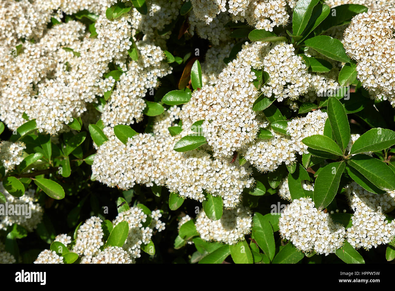 pyracantha inflorescences Stock Photo