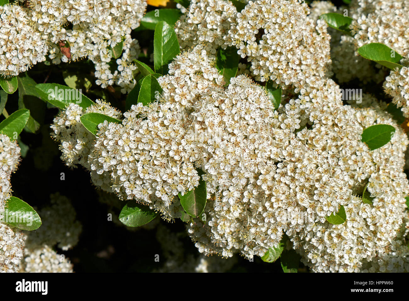 pyracantha inflorescences Stock Photo