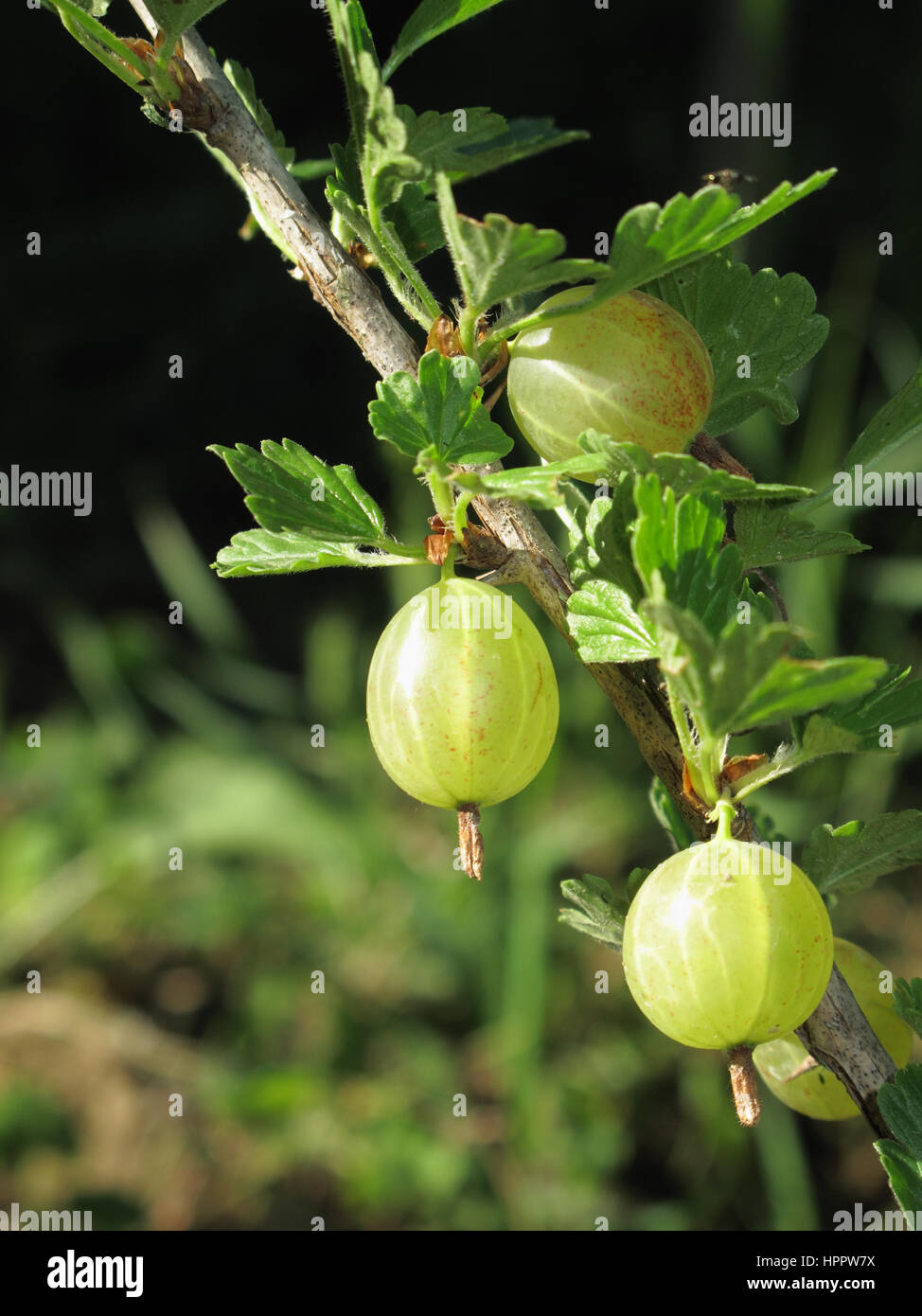 Ribes uva-crispa close up - Stock Image