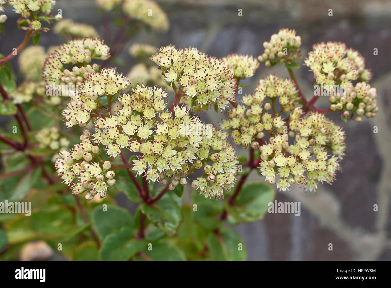Sedum telephium flower - Stock Image