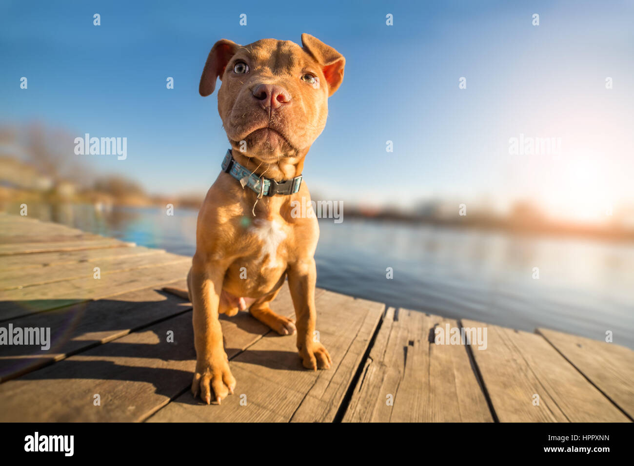 Yellow terrier puppy on vacation - Stock Image