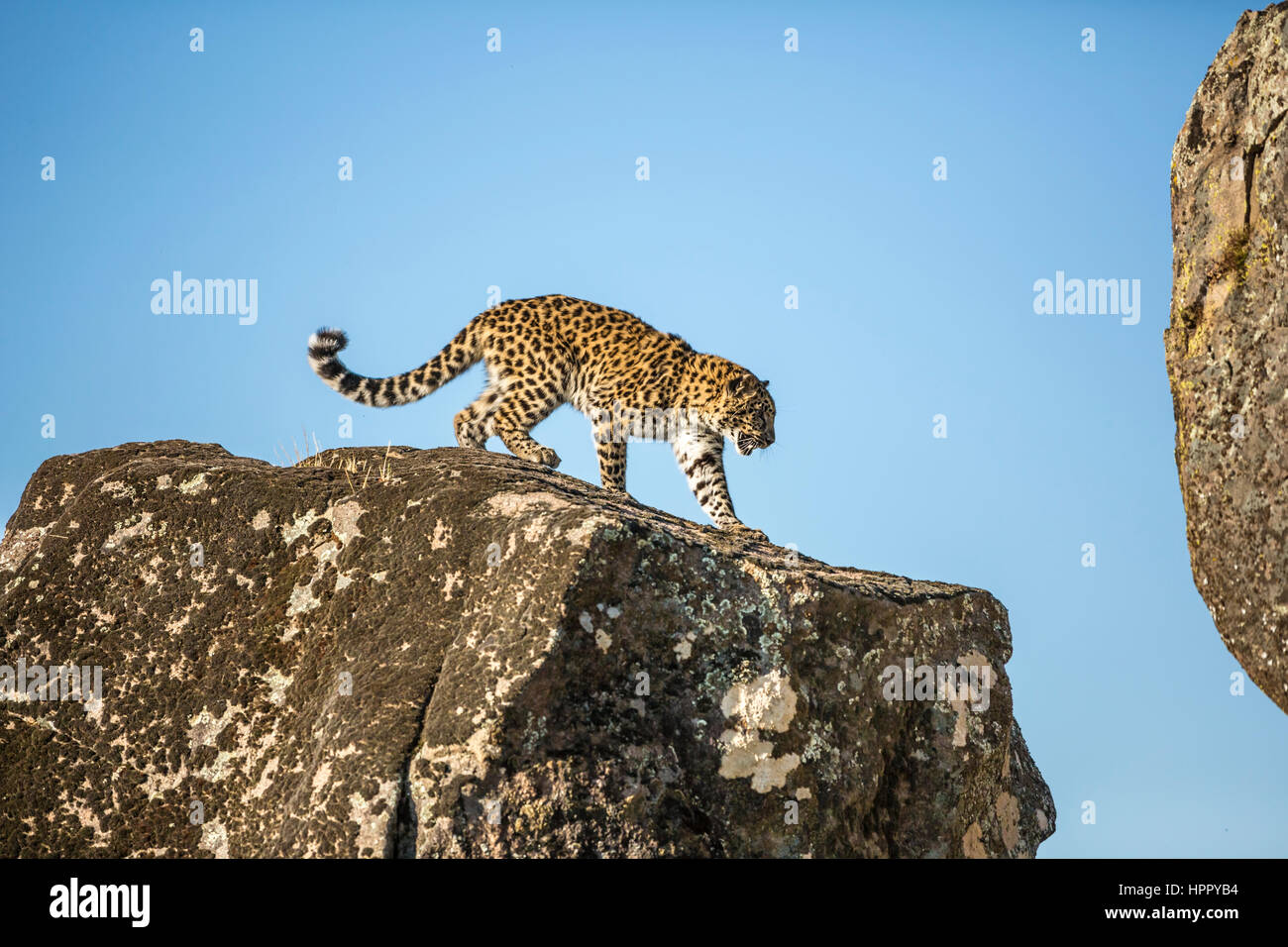 amur leopard on pile of rocks - Stock Image