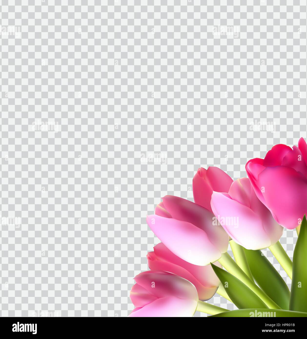 Beautiful Pink Realistic Tulip on Transparent Background Vector  - Stock Vector