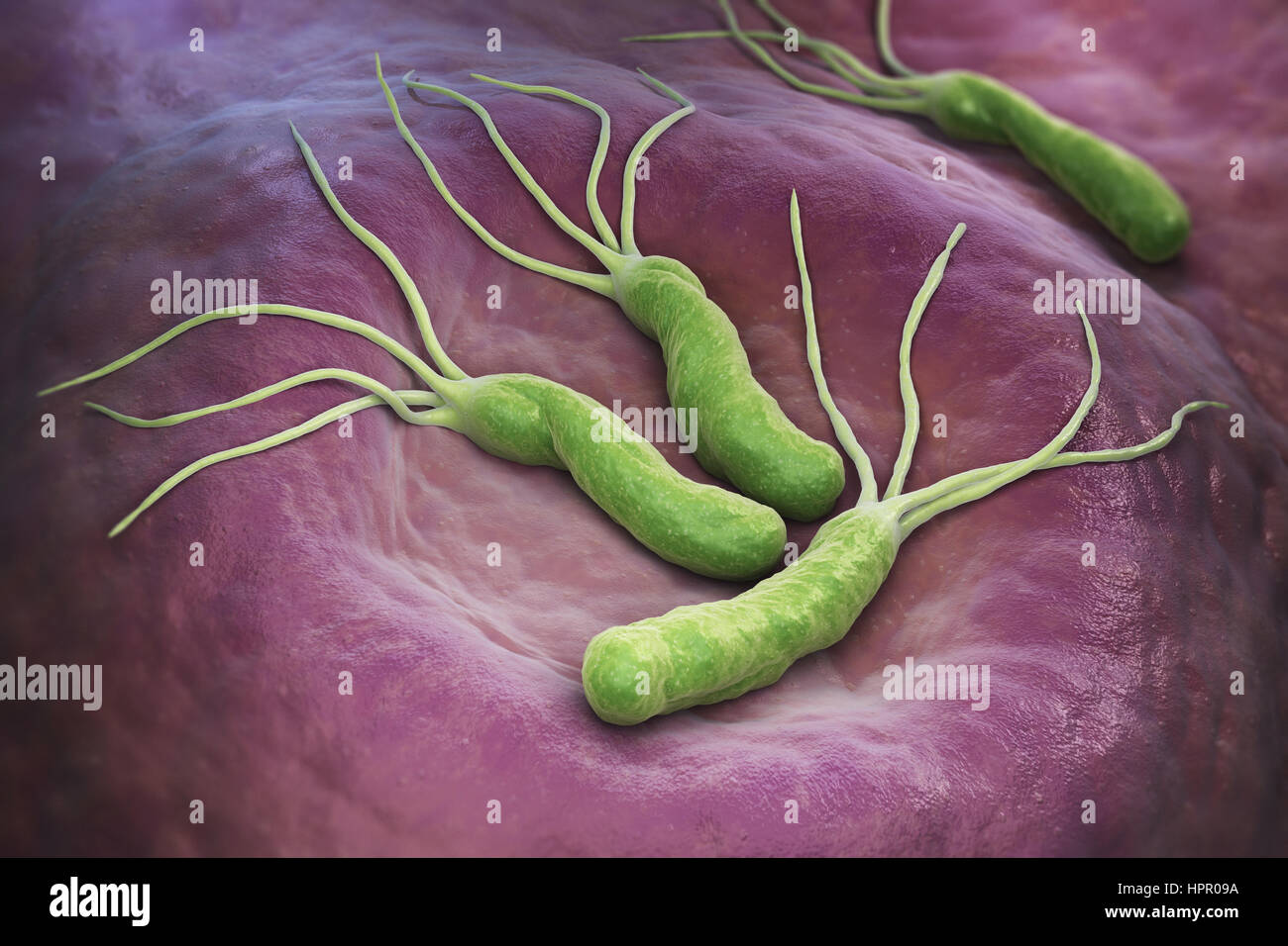 Helicobacter Pylori is a Gram-negative, microaerophilic bacterium found in the stomach. 3D illustration - Stock Image