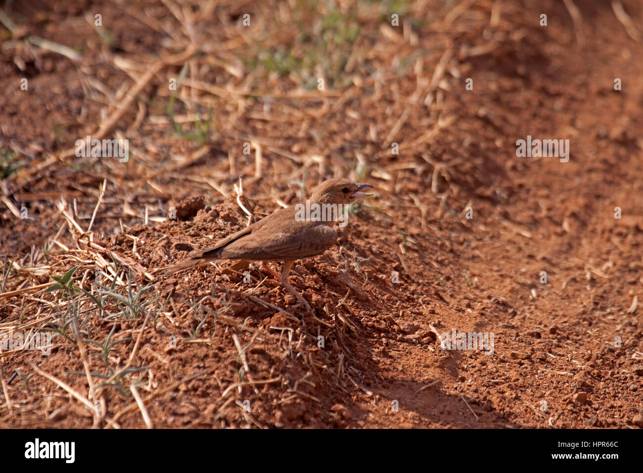 Rufous tailed lark at edge of dirt road in India - Stock Image