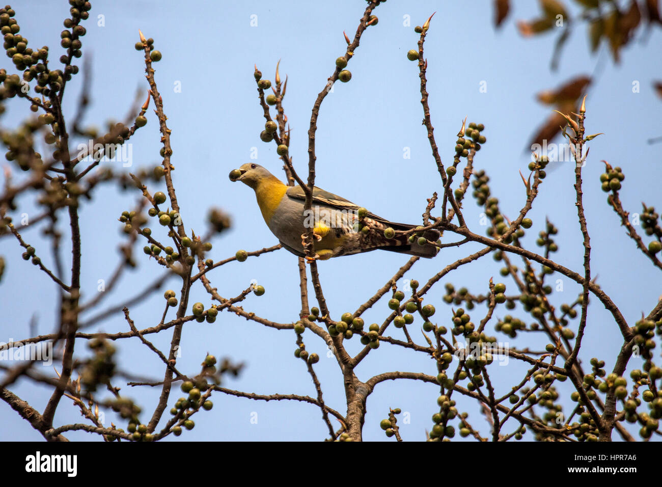 Yellow footed green pigeon perched in fruit tree with fruit in bill Assam India - Stock Image