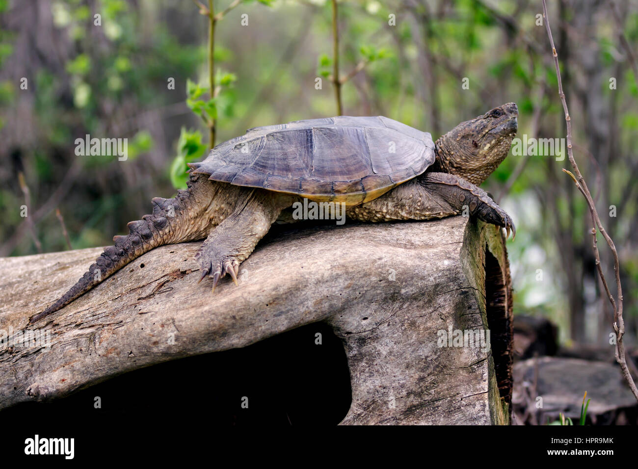 Captured this common snapping turtle basking in the sun sitting on a log. The back of my property touches the North Stock Photo