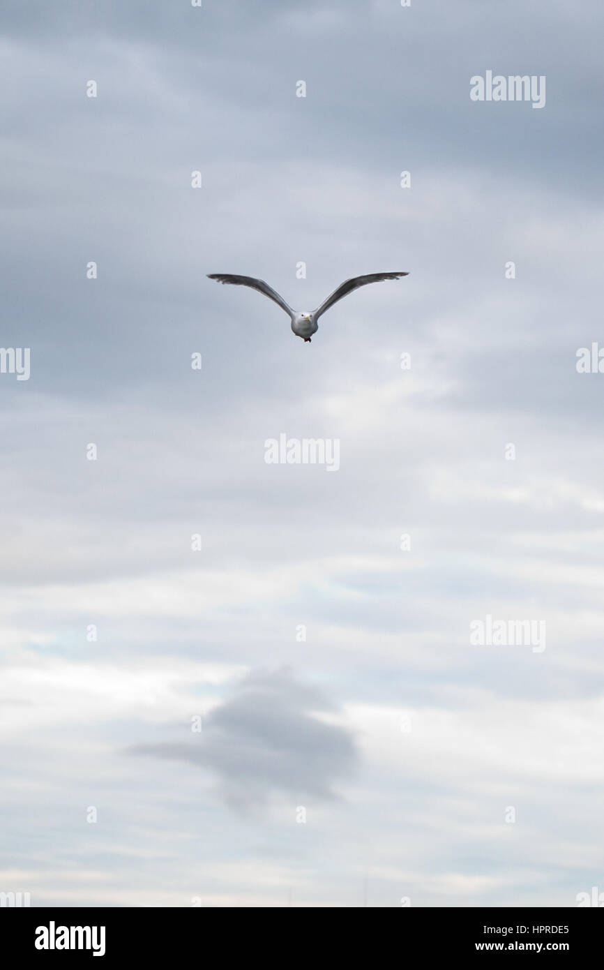 A Glaucous-winged Gull, Larus glaucescens, flaps throught the clouds over the harbor in Seward, Alaska, USA. - Stock Image