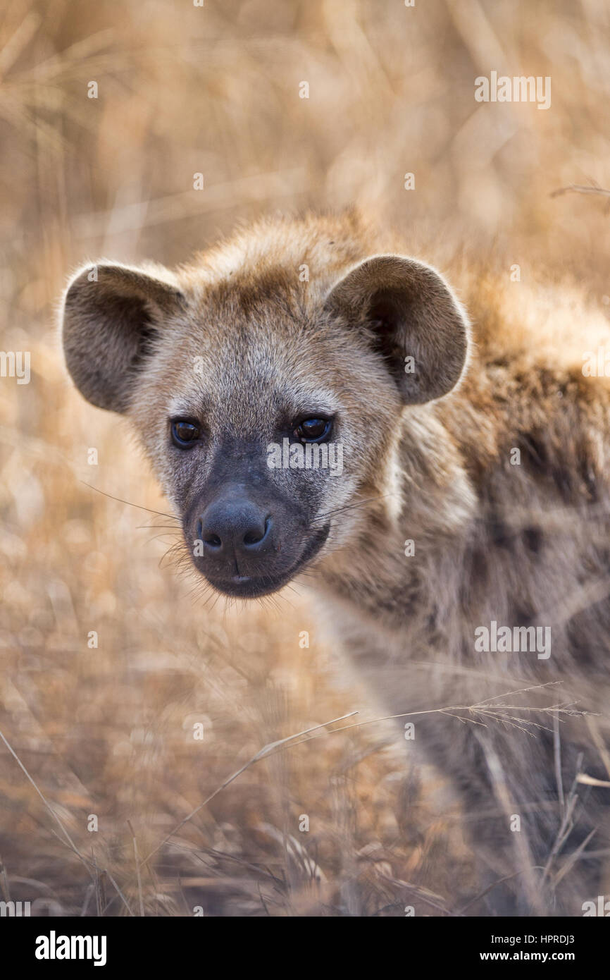 Spotted hyena are among the prominent wildlife of Kruger National Park, South Africa. - Stock Image