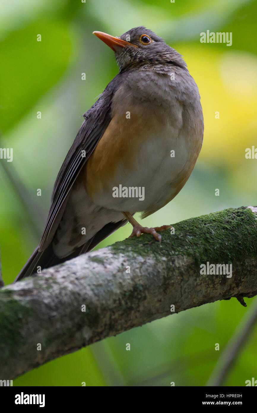 Rich birdlife in the coastal forest of Umlalazi, KwaZulu-Natal, South Africa Stock Photo