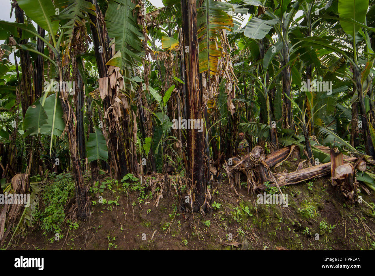 A woman blends in well to the dark shadows of a banana plantation in eastern Democratic Republic of Congo. - Stock Image