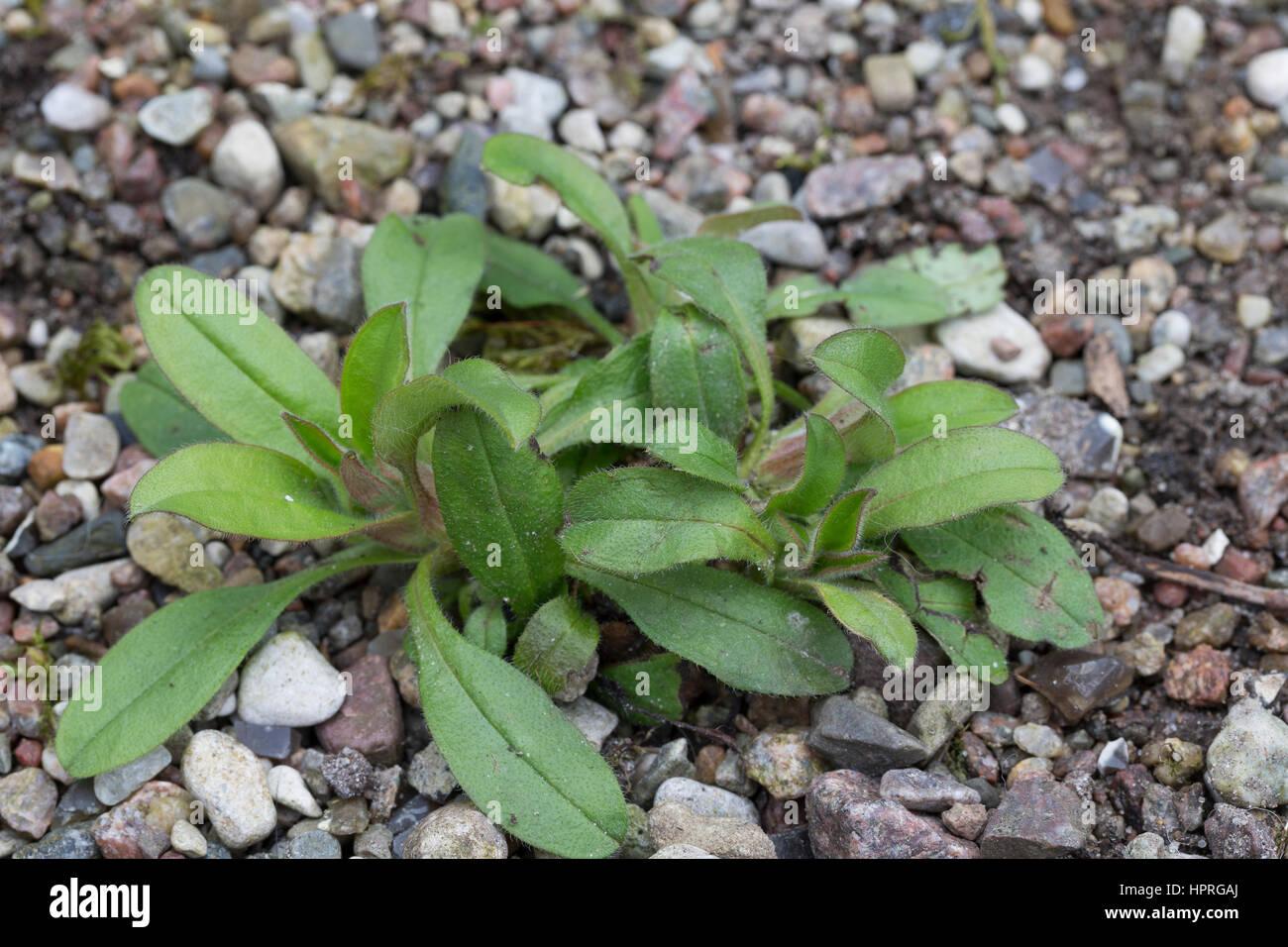 Vergissmeinnicht, Blatt, Blätter vor der Blüte, Myosotis spec., forget-me-not, scorpion grass Stock Photo