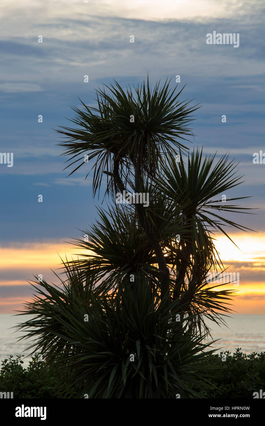 Kaikoura, Canterbury, New Zealand. Cabbage tree (Cordyline australis) silhouetted against dawn sky. - Stock Image