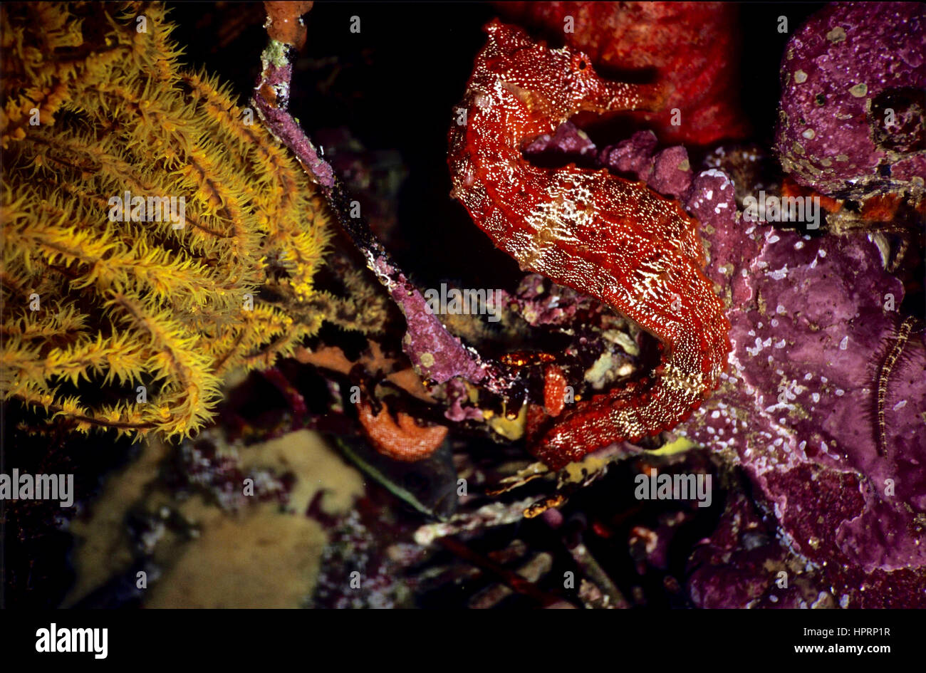 A Pacific seahorse (Hippocampus ingens) sheltering in a colourful coral reef. Listed as vulnerable in the IUCN Red - Stock Image