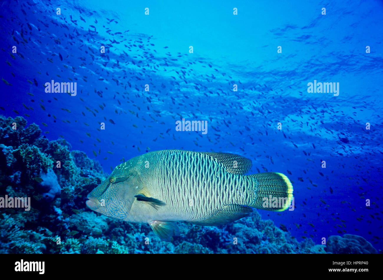 A juvenile humphead wrasse (Cheilinus undulatus). Considered to be high status eating and lips aphrodisiac. Endangered - Stock Image