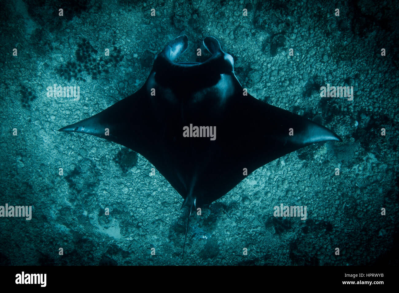 A Manta Ray - Manta alfredi - swims over the rubble reef at Manta point. Taken in Komodo National Park, Indonesia. - Stock Image