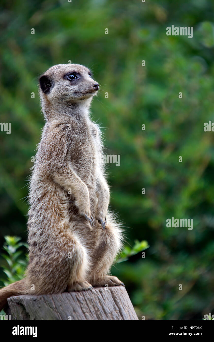 Meerkat Sitting On A Tree Stump - Suricata suricatta - Stock Image