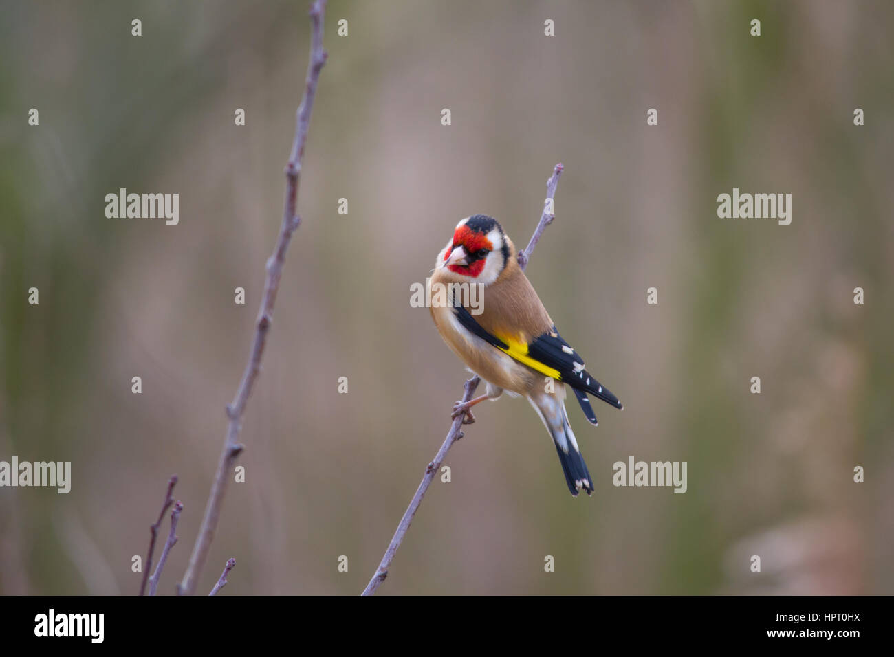 European goldfinch or goldfinch (Carduelis carduelis) - Stock Image
