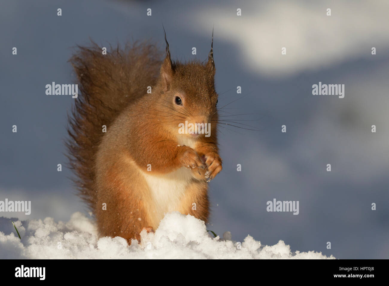 Red Squirrel (Sciurus vulgaris) in the snow, Scottish Highlands, UK - Stock Image