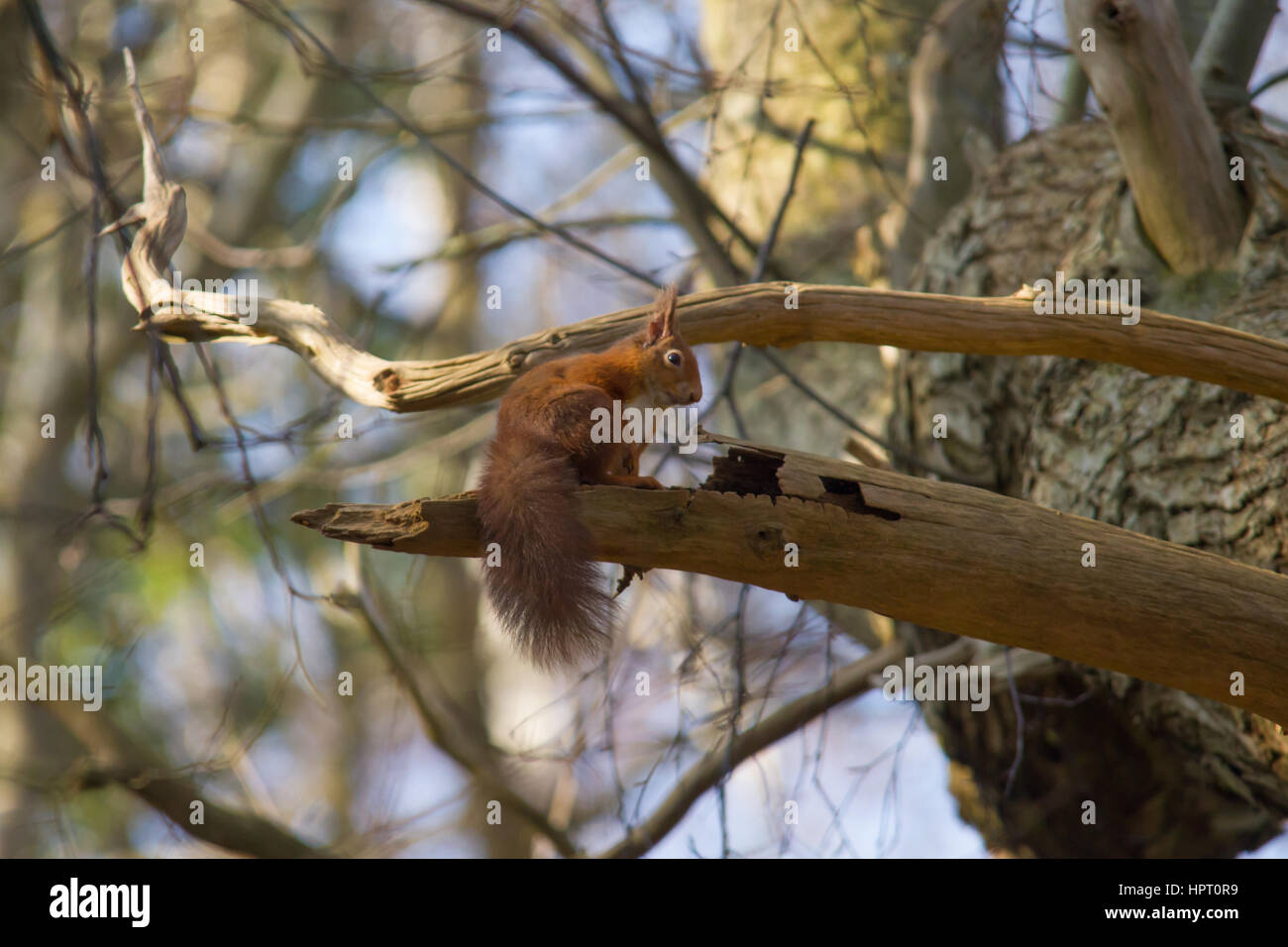 Red Squirrel or Eurasian Red Squirrel (Sciurus vulgaris) - Stock Image