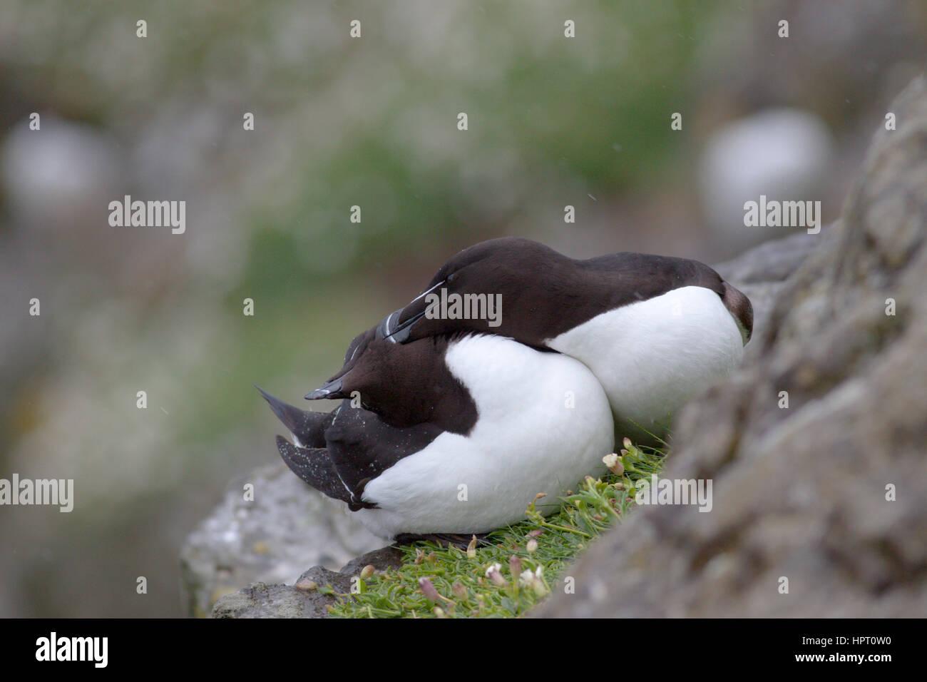 Razorbills (Alca torda) breeding on Lunga, Treshnish Isles, Scotland, UK Stock Photo