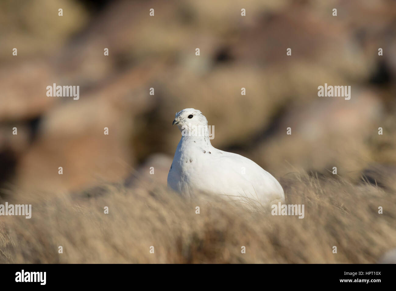 Rock Ptarmigan (Lagopus mutus), Scottish West Coast, Highlands, Scotland, UK - Stock Image