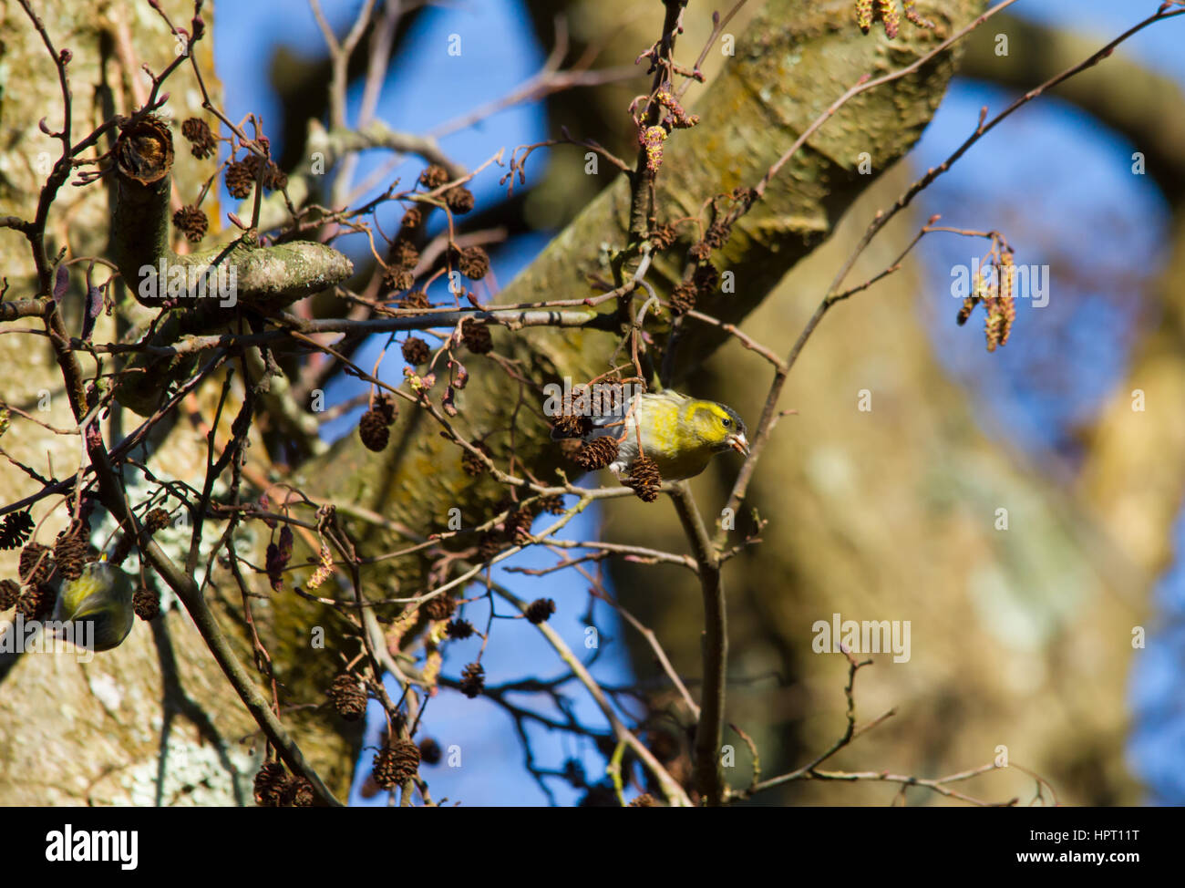 Eurasian Siskin (Spinus spinus) - Stock Image