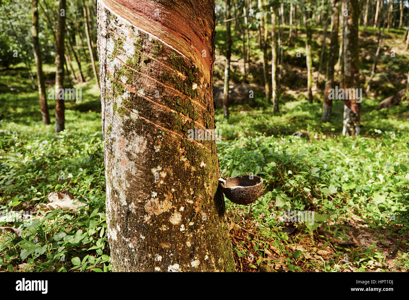 Tapping sap from the rubber tree in Sri Lanka - Stock Image