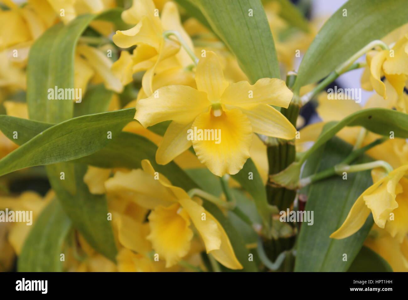 Yellow Jonquils Stock Photo
