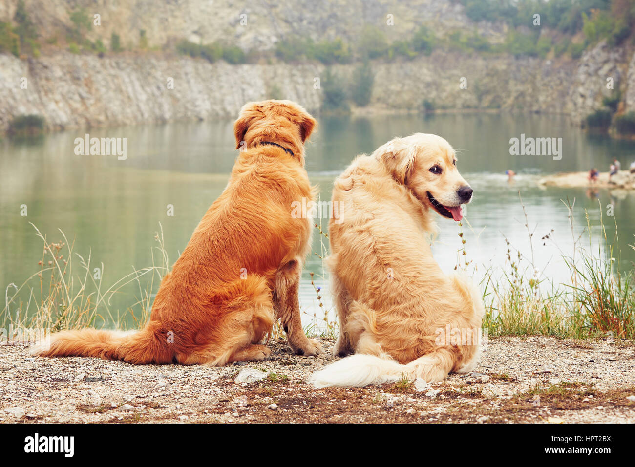 Lake for swimming. Two golden retriever dogs in old stone quarry. - Stock Image