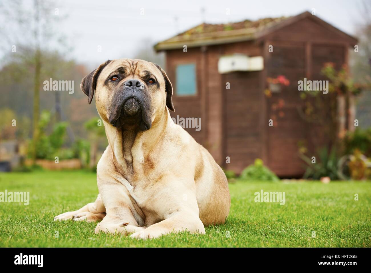 Cane corso dog is lying in the garden - Stock Image
