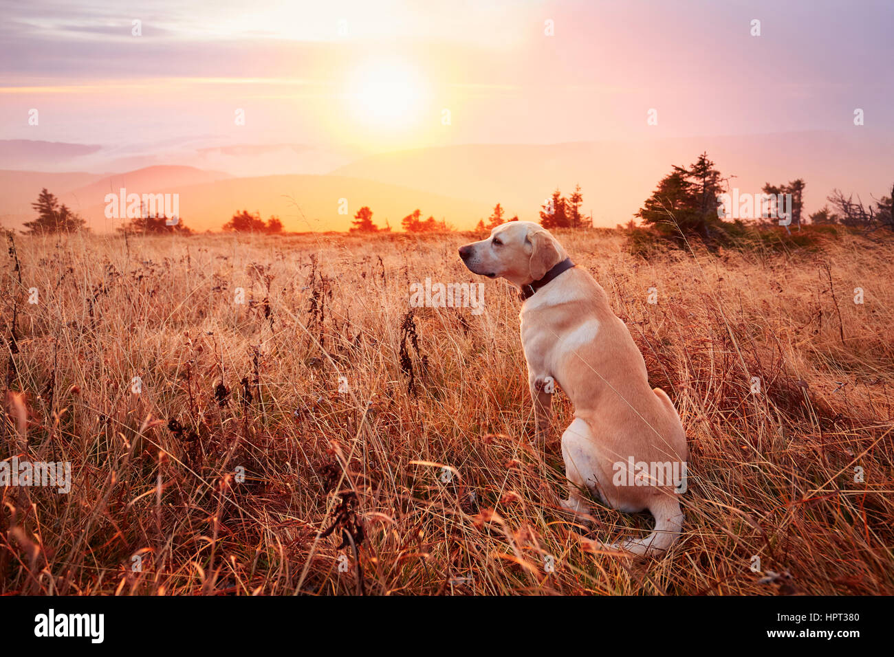 Yellow labrador retriever on the trip in mountains - Stock Image